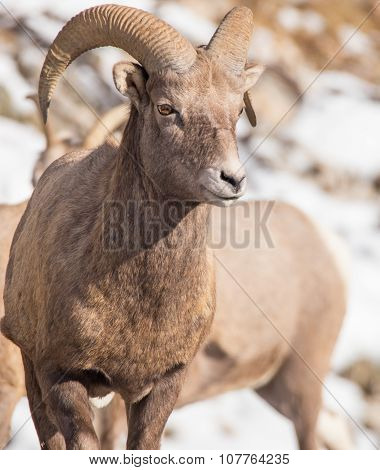 Bighorn Sheep - Looking Off In The Distance.