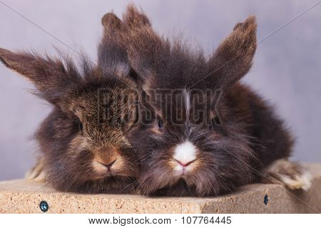 Two lion head rabbit bunnys sitting on a wood box looking at the camera.