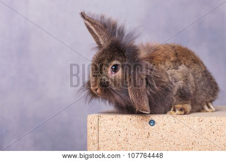 Side view of a cute lion head rabbit bunny sitting on a wood box while holding one ear up.