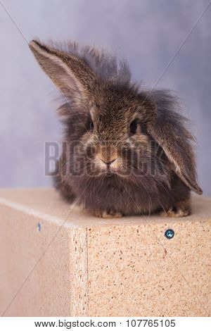 Furry lion head rabbit bunny lying on a wood box while holding one ear up.