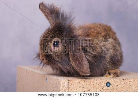 Side view of a furry lion head rabbit bunny holding one ear up while sitting on a wood box.