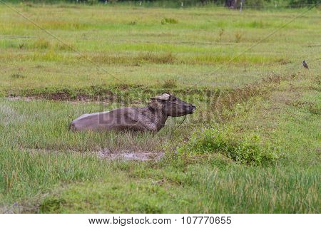 Water Buffalo Using Mud For Protection From The Sun And Flies