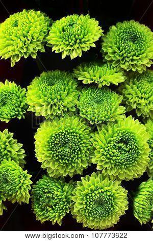 Green Chrysanthemum Flower As Background Texture (chrysanthemum Morifolium)