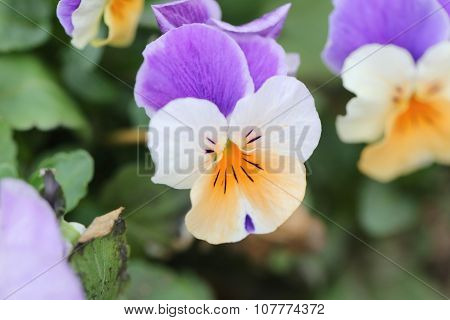 Mix Color Pansy Flower.