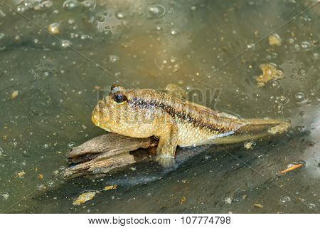 Mudskipper.