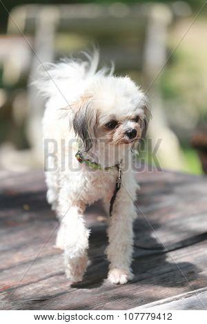 Poodle Dog Stroll.
