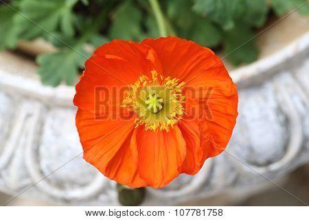 Orange Flower Is Blooming.