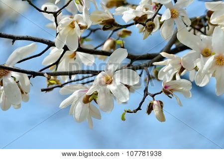 blooming magnolia tree in spring garden