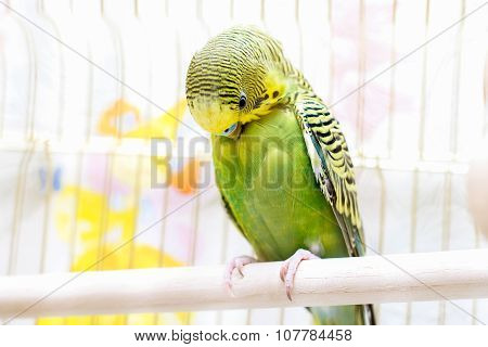 Budgie parrot cleans its feathers
