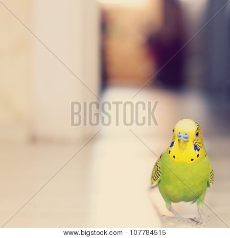 Budgerigar Parrot Walking On The Floor. Budgie