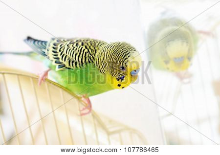 Budgerigar Parrot looks in the mirror