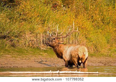 Elk emerging from river