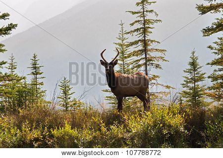 Male elk on riverbank