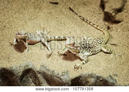 Central Bearded Dragon In The Sand