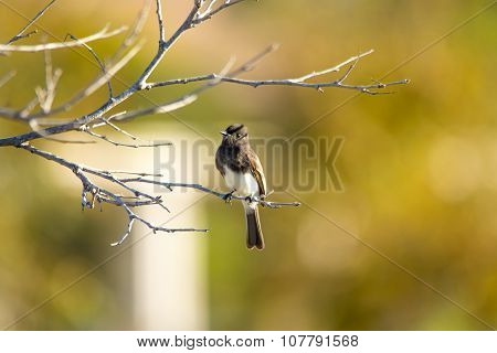 The Wild Black Phoebe Pearching On The Tree At Malibu