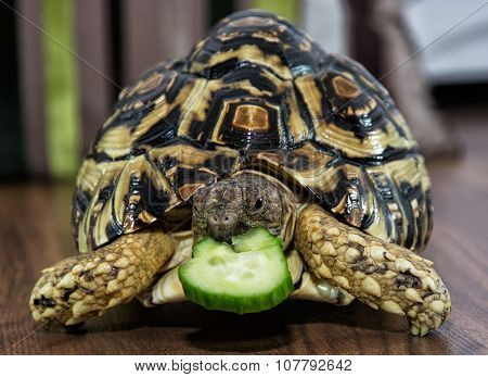 Leopard Tortoise Is Feeding, Animal Scene