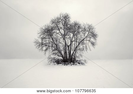 Lonely black branchy tree in the snowy white field in the morning