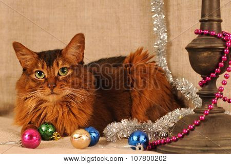 Somali cat ruddy color holiday portrait
