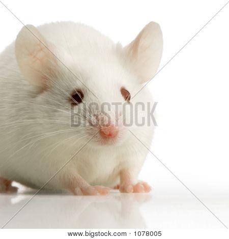White Mouse