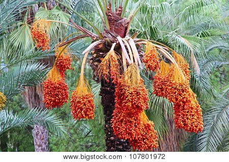 Date Palm Tree With Ripe Fruits.