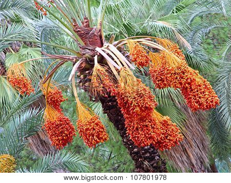 Date Palm Tree With Appetizing Ripe Fruits.
