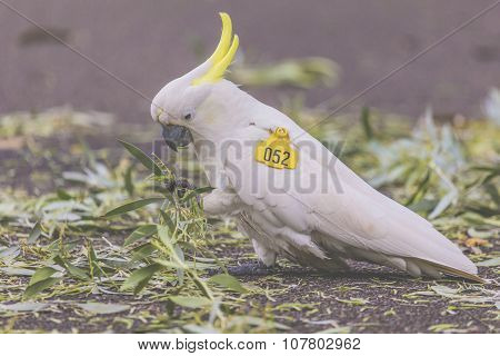 Cockatoo In Botanic Garden Of Sydney Australia