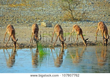 Impala drinking from waterhole with reflection