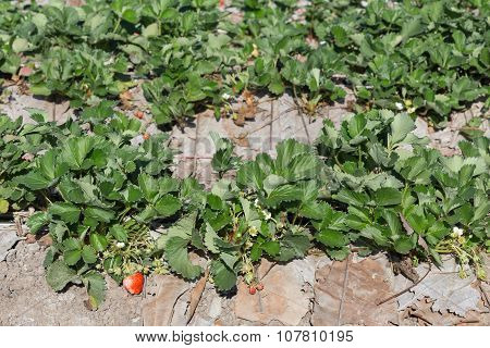 Strawberry Fruit In Field Plantation Of Agriculture
