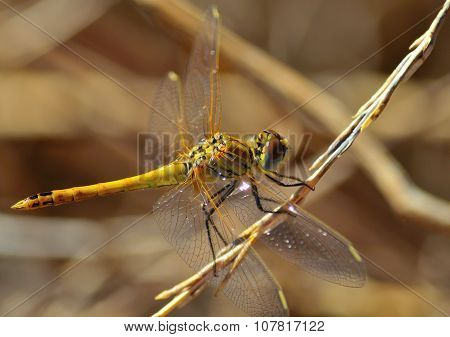 Sympetrum dragonfly