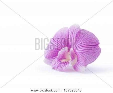 Dendrobium Purple Orchid