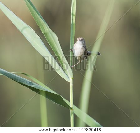 Graceful Prinia Warbler Perched On A Blade Of Grass