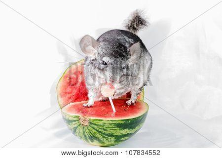 Chinchilla on watermelon