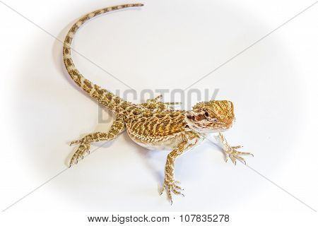 Dragon Bearded Lizard