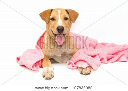 Dog After The Bath With A Pink Towel Isolated On White Background