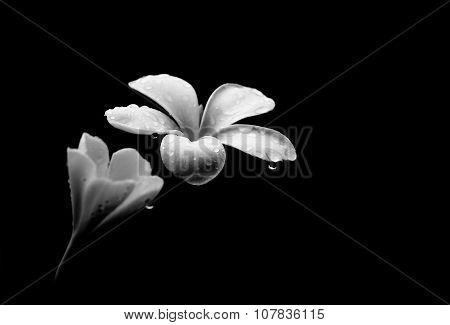 Glorious Frangipani Or Plumeria Flowers, With Black Background