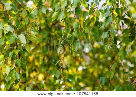 Bright Leaves Of Birch. Russia.