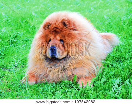 Red Chow Chow On A Green Grass