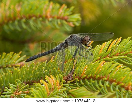Frosted Whiteface Dragonfly
