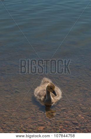 Gosling in water
