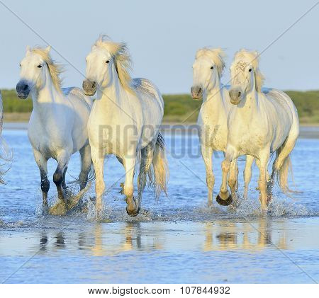 White horses of Camargue running through water