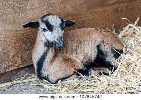 Goat laying down