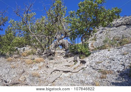 Oak Tree On A Cliff. Crimea.