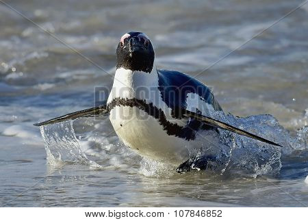 African Penguins (spheniscus Demersus) Leave The Ocean