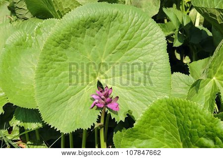 wild flower framed by circular leaf in Biogradska Gora National Park, Montenegro