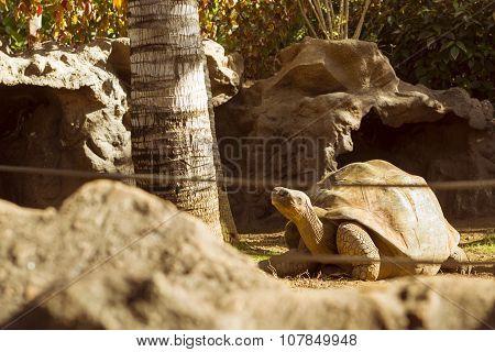 Huge Turtle - Giant Tortoise (geochelone Gigantea) In Loro Parque, Tenerife