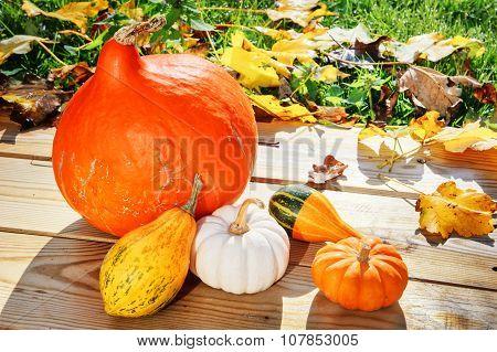 Autumn Still-life With Pumpkins In Sunlit Garden