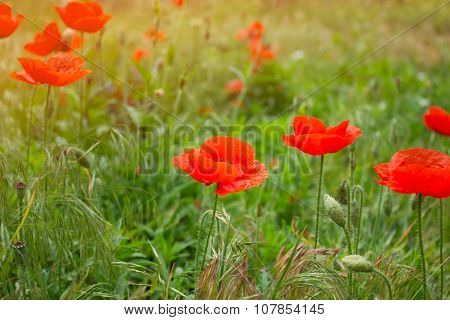 Close Up Poppy Head. Red Poppy. Red Poppy Flowers Field, Close Up. Red Poppy On Green Weeds Field.