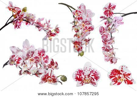 set of red orchid flowers isolated on white background