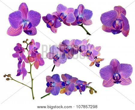 set of bright orchid flowers with violet strips isolated on white background