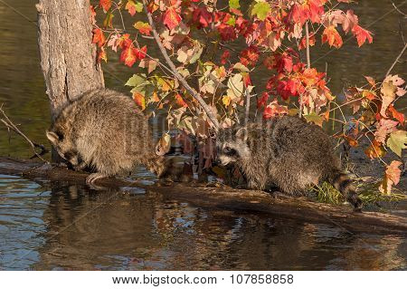 Two Raccoons (procyon Lotor) On A Log